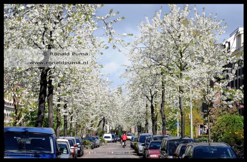 Voorjaarsbloesem Dominicanenstraat Nijmegen (C) Ronald Puma