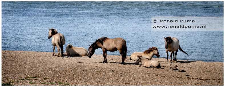 Konikpaarden Ooijpolder Nijmegen (C) Ronald Puma 01