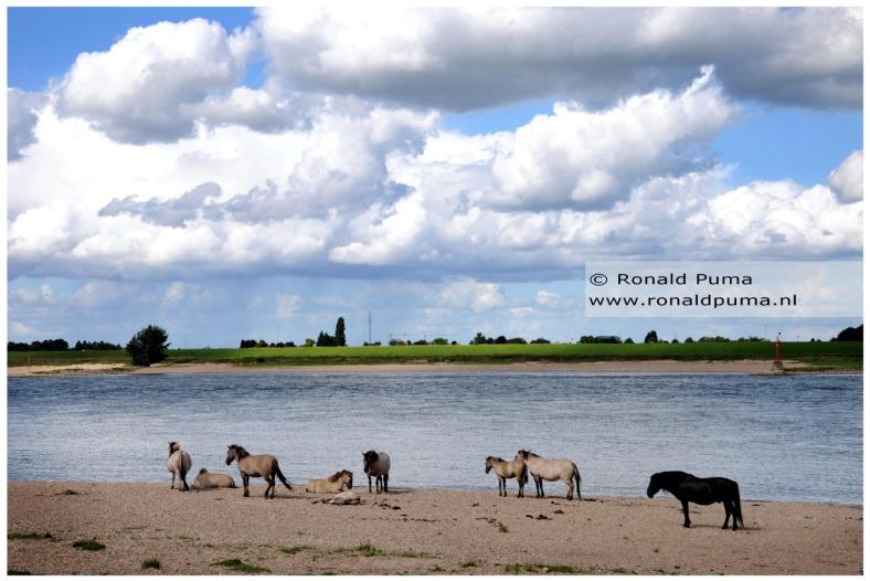 Konikpaarden Ooijpolder Nijmegen (C) Ronald Puma 02