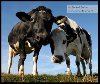 Koeien in de wei (C) Ronald Puma 02