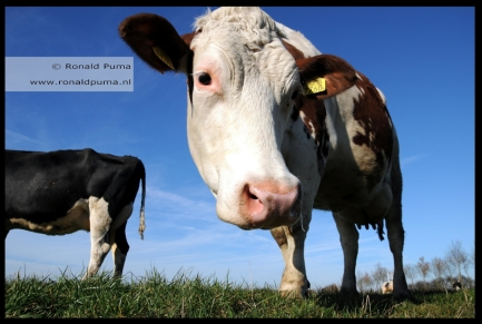 Koeien in de wei (C) Ronald Puma 03