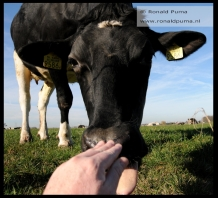 Koeien in de wei (C) Ronald Puma 04
