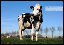 Koeien in de wei (C) Ronald Puma 05