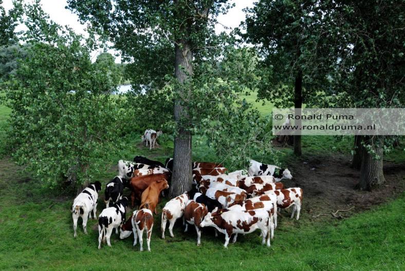 Koeien in de wei Ooijpolder Nijmegen (C) Ronald Puma