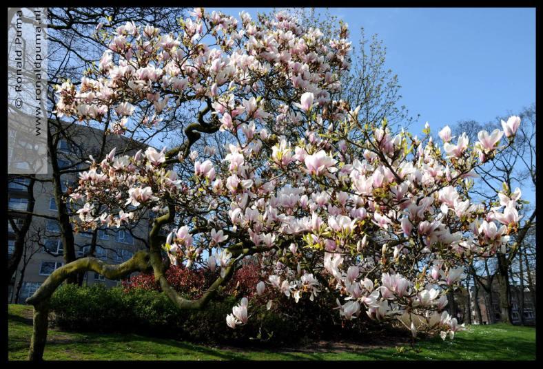 Magnolia blossom (C) Ronald Puma