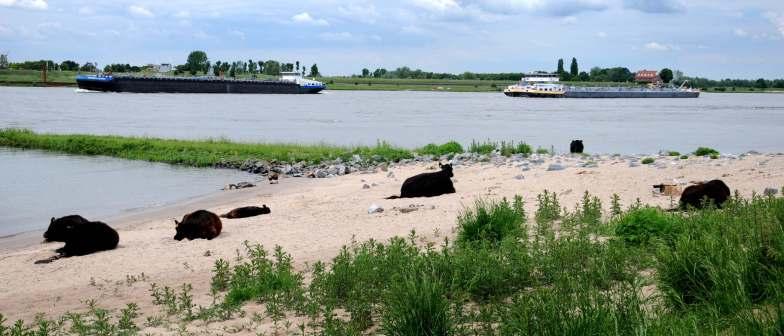 Galloway runderen op het Waalstrand.