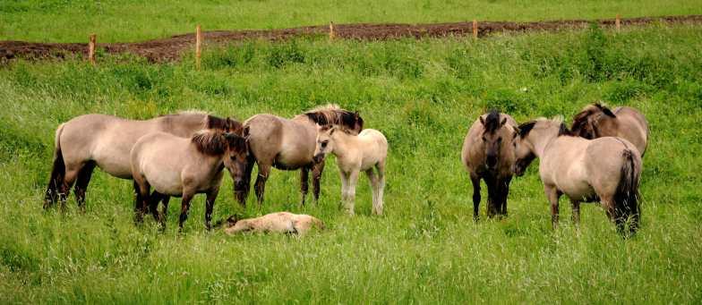 Konikpaarden staan in de uiterwaarden van de Waal.
