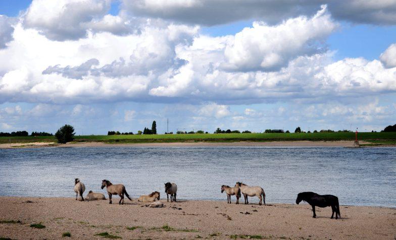 Konikpaarden zoeken verkoeling langs de Waal.