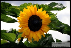 Zonnebloem Sunflower (C) Ronald Puma