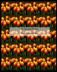 Tulpen / Tulips #1