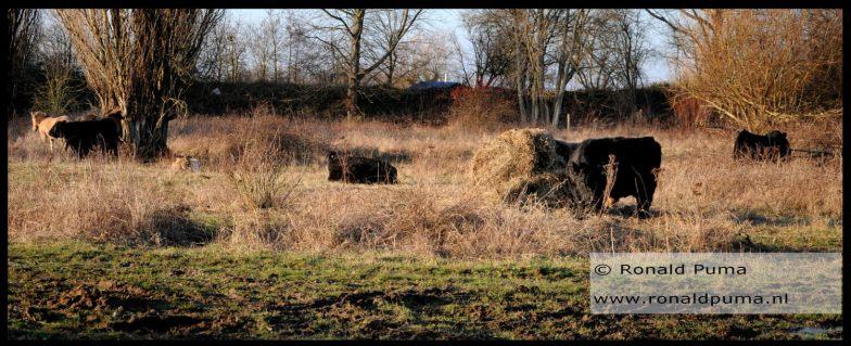 Galloway runderen en Konikpaarden worden bijgevoerd met hooi.