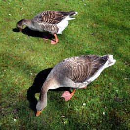 Deze ganzen in park Sonsbeek zijn bijna mak en te aaien.