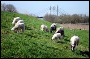 Op de achtergrond de brug bij Ewijk 15 kilometer ten westen van Nijmegen.