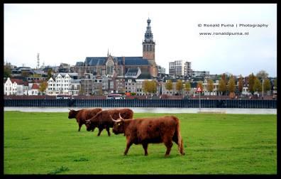 Schotse Hooglanders Nijmegen. Aan de overkant van de Waal de Stevenskerk,