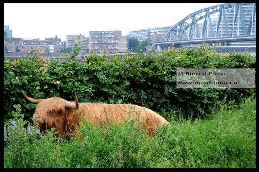 De Schotse Hooglander heeft een vers stuk gras gevonden.