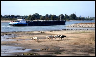 Koeien staan op de drooggevallen rivierbedding langs de Waal. Op de achtergrond Nijmegen.