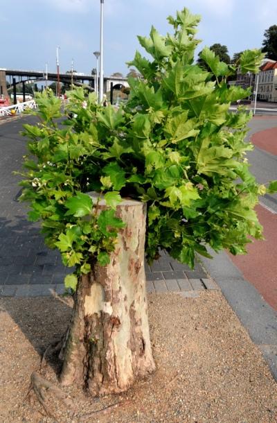 Waalkade Nijmegen. Gekapte boom groeit door.