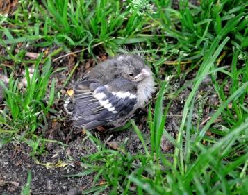 Uit het nest gevallen.