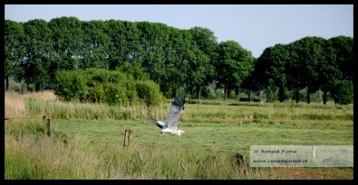 Reiger in volle vlucht.