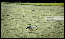 2 Ooievaars zoeken naar voedsel in pas gemaaid gras..