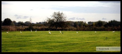 Witte reigers.