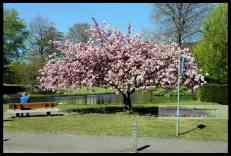 Een mooie boom, maar treurig voorjaar.
