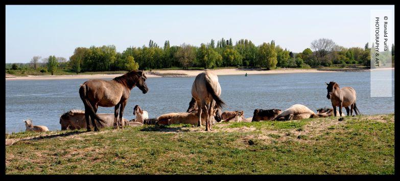Waal Nijmegen Konikpaarden (C) Ronald Puma 03